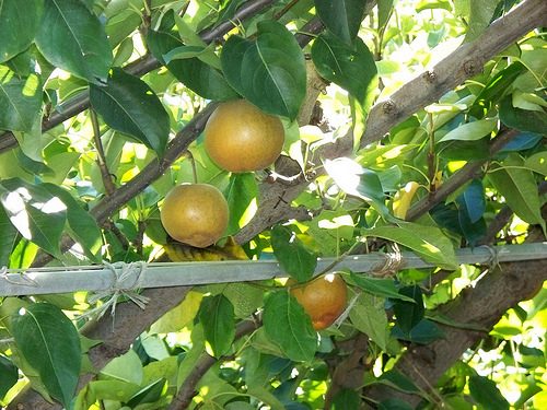evergreen farm asian pears