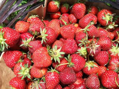 strawberry picking at Silverton Farms