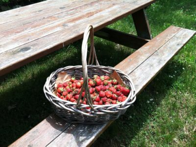 fresh picked strawberries in basked at Silverton Farms in Toms River NJ