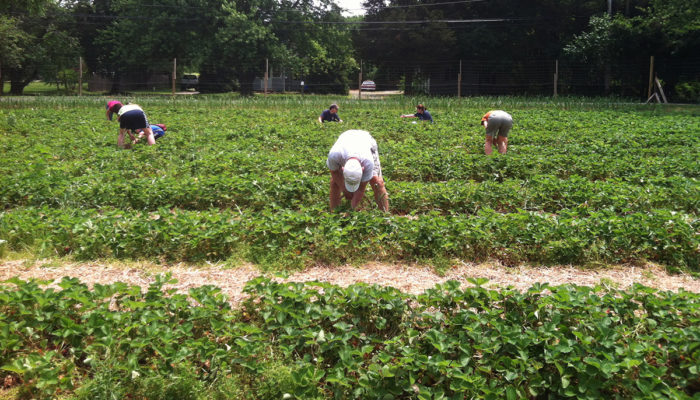 strawberry picking at Silverton Fars