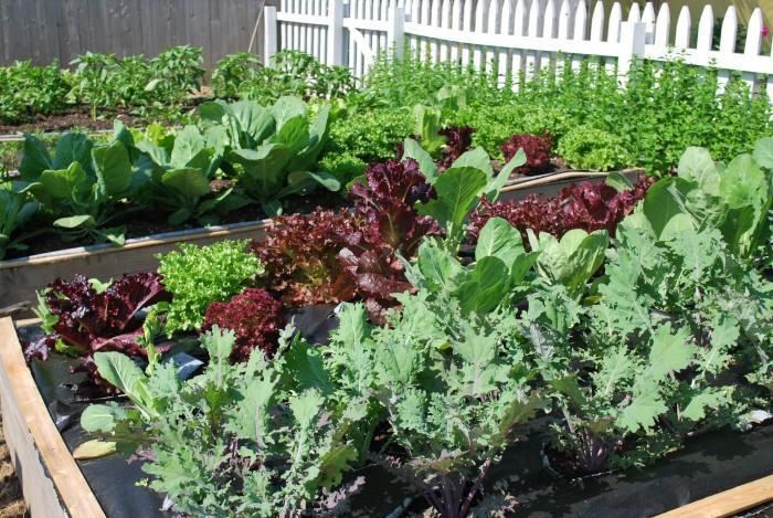 fresh lettuce in garden