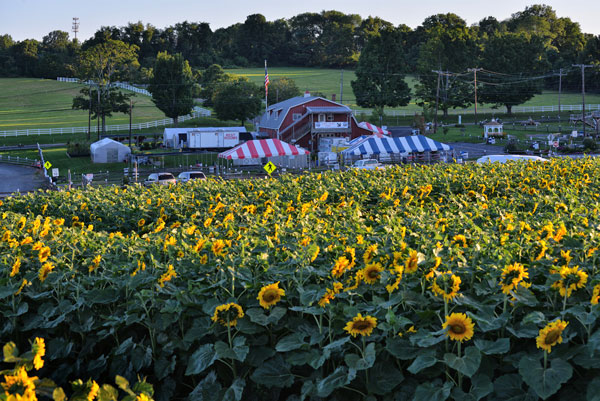 Alstede Farms Is A Vibrant 600 Acre Working Farm In Chester For The First Time Team Has Introduced Its Own Sunflower Maze With Theme Of Farming