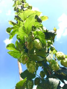 Hops ready to be picked at Fir Farm. Credit Mandy Hanigan