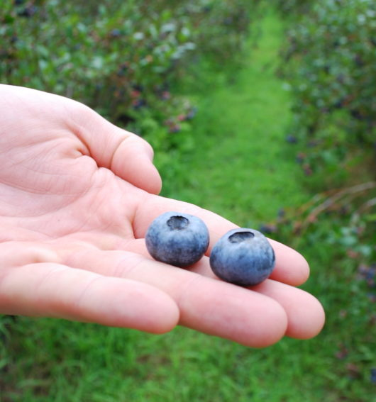 Giant blueberries from FullBlue360