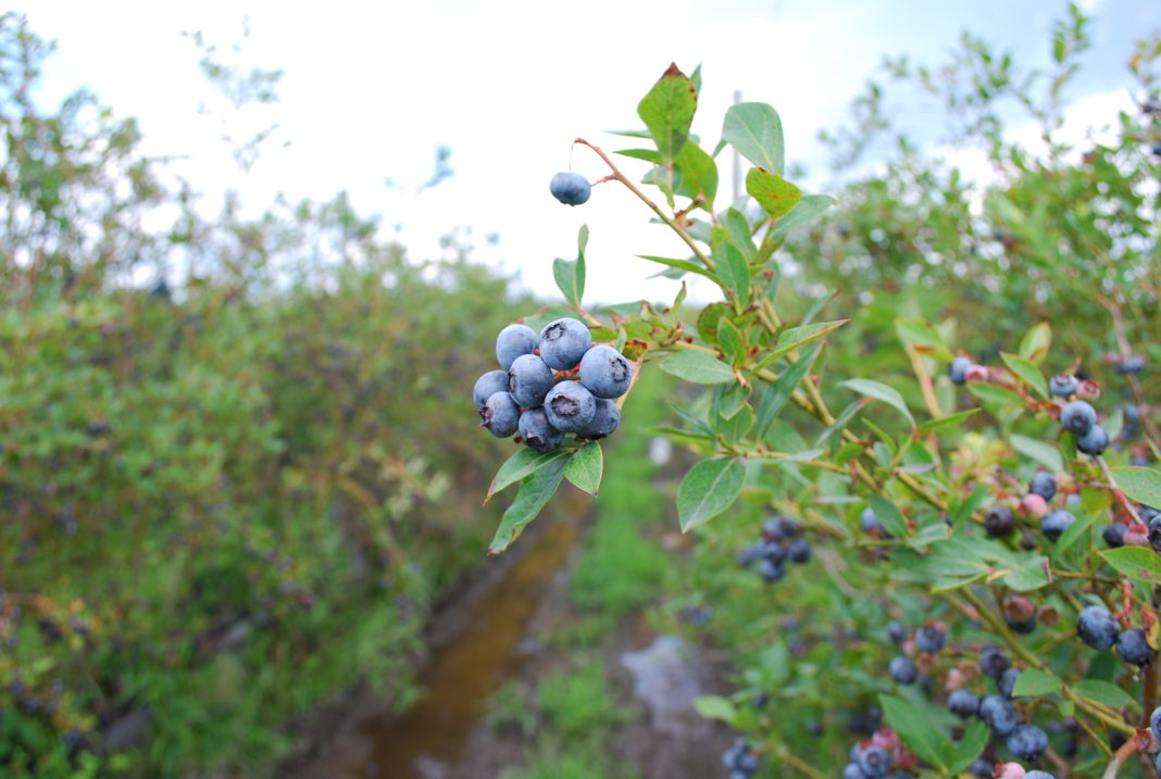 FullBlue360 blueberry farm